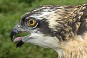 Delight as pair of new Osprey chicks hatch at Haverthwaite wood